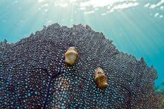 γλώσσα γαστερόποδων φλαμίγκο στοκ φωτογραφίες με δικαίωμα ελεύθερης χρήσης