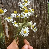 Γνήσιος chamomile στοκ φωτογραφίες