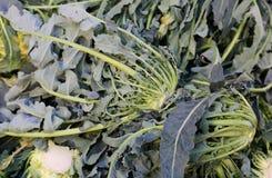 Γνήσιο αρχικό πράσινο μπρόκολο βόρεια Ιταλία αποκαλούμενη BROCCOLO Φ Στοκ εικόνα με δικαίωμα ελεύθερης χρήσης