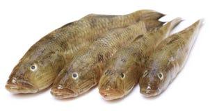 Γοβιός δεξαμενών των δημοφιλών ψαριών Bele της ινδικής υπο-ηπείρου Στοκ Εικόνες