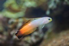Γοβιός Nemateleotris Magnifica Firefish Στοκ φωτογραφίες με δικαίωμα ελεύθερης χρήσης