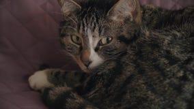 Γοητεία, οικιακή shorthair τιγρέ γάτα απόθεμα βίντεο