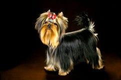 Γοητευτικός μοντέρνος λίγο τεριέ του Γιορκσάιρ σκυλιών Στοκ Εικόνες