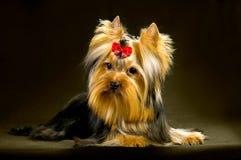 Γοητευτικός μοντέρνος λίγο τεριέ του Γιορκσάιρ σκυλιών Στοκ εικόνες με δικαίωμα ελεύθερης χρήσης