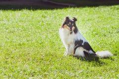 Γοητευτικός sheltie, τσοπανόσκυλο Shetland στοκ εικόνα με δικαίωμα ελεύθερης χρήσης