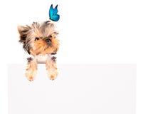 Γοητευτικό κουτάβι με την μπλε πεταλούδα επάνω από τον πίνακα διαφημίσεων στοκ εικόνα