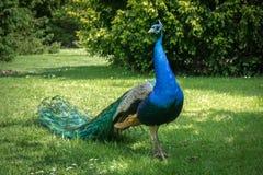 Γοητευτικό peacock στοκ εικόνες