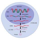 γονίδιο έκφρασης διανυσματική απεικόνιση