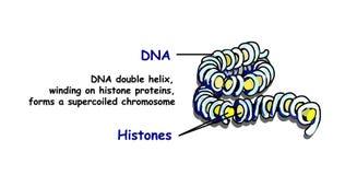 Γονιδίωμα στη δομή του DNA ακολουθία γονιδιώματος Το Telo μόνο είναι μια ακολουθία επανάληψης double-stranded ελαφριού διανύσματο ελεύθερη απεικόνιση δικαιώματος