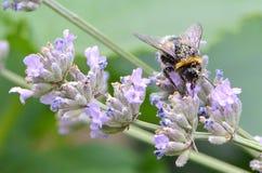 Γονιμοποίηση από bumblebee Στοκ Εικόνα