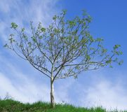 Γονιμοποίηση δέντρων ξύλων καρυδιάς Στοκ Εικόνες