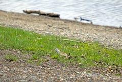 Γοπχερ στην όχθη ποταμού Στοκ Εικόνες