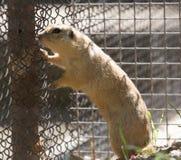 Γοπχερ στο ζωολογικό κήπο Στοκ Εικόνες