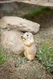 Γοπχερ στο ζωολογικό κήπο Στοκ εικόνα με δικαίωμα ελεύθερης χρήσης
