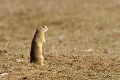 Γοπχερ, Souslik, αλεσμένος σκίουρος Στοκ εικόνα με δικαίωμα ελεύθερης χρήσης