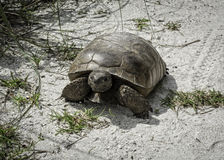 Γοπχερ Tortoise νησιών Sanibel Στοκ εικόνα με δικαίωμα ελεύθερης χρήσης
