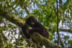 Γορίλλας βουνών μωρών που φαίνεται πολύ χαριτωμένος κρεμώντας επάνω στο δέντρο στοκ φωτογραφίες με δικαίωμα ελεύθερης χρήσης