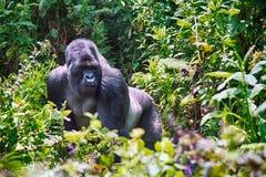 Γορίλλας βουνών, εθνικό πάρκο ηφαιστείων, Ρουάντα στοκ φωτογραφίες