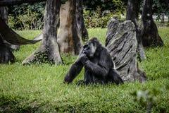 Γορίλλας ζωολογικών κήπων του Μαϊάμι σε έναν τομέα της πράσινης χλόης στοκ εικόνες με δικαίωμα ελεύθερης χρήσης