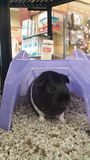 Γουινέα Piggy Στοκ Εικόνα