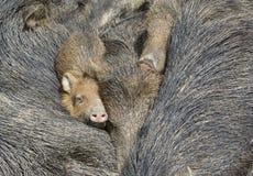 γουρούνια Στοκ εικόνα με δικαίωμα ελεύθερης χρήσης