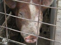Γουρούνια Hereford Στοκ εικόνες με δικαίωμα ελεύθερης χρήσης