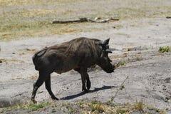 Γουρούνι ακροχορδώνων Στοκ Εικόνες