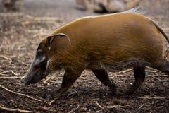 γουρούνι στοκ εικόνες