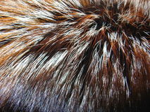 γούνα αλεπούδων Στοκ Φωτογραφία