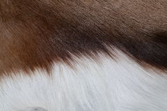 γούνα αντιλοπών Στοκ εικόνες με δικαίωμα ελεύθερης χρήσης
