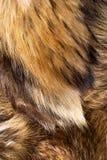 Γούνα αλεπούδων Στοκ Εικόνες