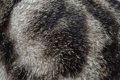 Γούνα γατών στροβίλου - ο Μαύρος & λευκό Στοκ φωτογραφίες με δικαίωμα ελεύθερης χρήσης
