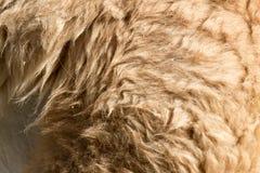Γούνα λάμα ως υπόβαθρο στοκ εικόνα με δικαίωμα ελεύθερης χρήσης