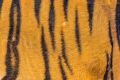 Γούνα τιγρών, δέρμα τιγρών Στοκ Φωτογραφίες