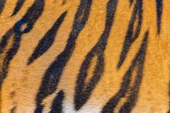 Γούνα τιγρών, δέρμα τιγρών Στοκ εικόνες με δικαίωμα ελεύθερης χρήσης