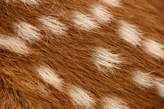 Γούνα Fawn στοκ εικόνα με δικαίωμα ελεύθερης χρήσης