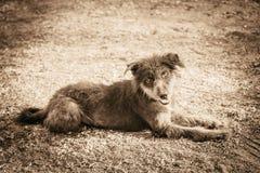 Γούνινη καφετιά τοπική ασιατική φυλή σκυλιών στοκ φωτογραφίες