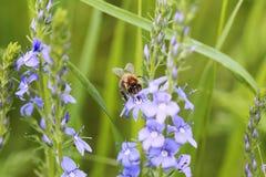 Γούνινη μέλισσα στα μπλε λουλούδια της Βερόνικα στοκ φωτογραφίες