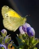 Γούνινη πεταλούδα στοκ φωτογραφία