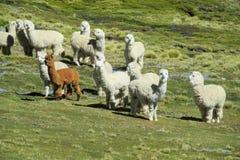 Γούνινοι λάμα στο πράσινο λιβάδι στοκ φωτογραφία με δικαίωμα ελεύθερης χρήσης