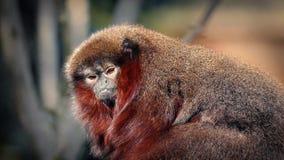 Γούνινος λίγος πίθηκος που κοιτάζει γύρω στη ζούγκλα απόθεμα βίντεο