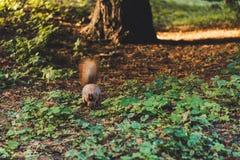 γούνινος λίγος σκίουρος που τρέχει στο χώμα στοκ εικόνες