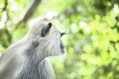 Γούνινος χνουδωτός γκρίζος πίθηκος langur στοκ εικόνες