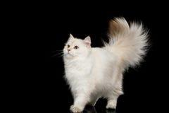 Γούνινο βρετανικό άσπρο χρώμα γατών στο απομονωμένο μαύρο υπόβαθρο στοκ εικόνες