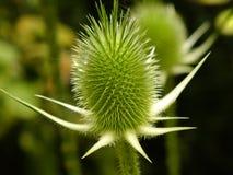 Γούνινο λουλούδι Στοκ Εικόνα