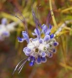 Γούνινο πορφυρό λουλούδι Στοκ εικόνα με δικαίωμα ελεύθερης χρήσης