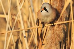 Γούνινο πουλί με μια συνεδρίαση mustache στα αλσύλλια καλάμων στοκ φωτογραφία με δικαίωμα ελεύθερης χρήσης