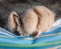 Γούνινο πόδι γατών με τα νύχια που επεκτείνονται στο ριγωτό ύφασμα Στοκ εικόνα με δικαίωμα ελεύθερης χρήσης