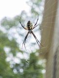 Γράφοντας αράχνη Στοκ Εικόνες