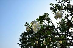 Γράψτε το plumeria στον κήπο Στοκ φωτογραφία με δικαίωμα ελεύθερης χρήσης